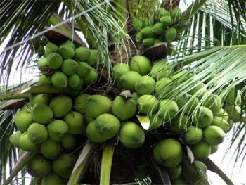 Uống nước dừa không đúng rất có hại cho sức khỏe của Bạn